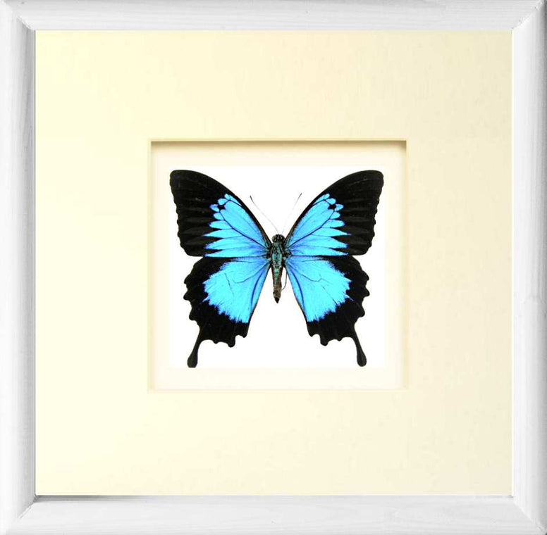 Blue Mountain Solid wood  25x25  White, Butterfly Frame - Insect Frame UK, Insect Frame UK  - 6