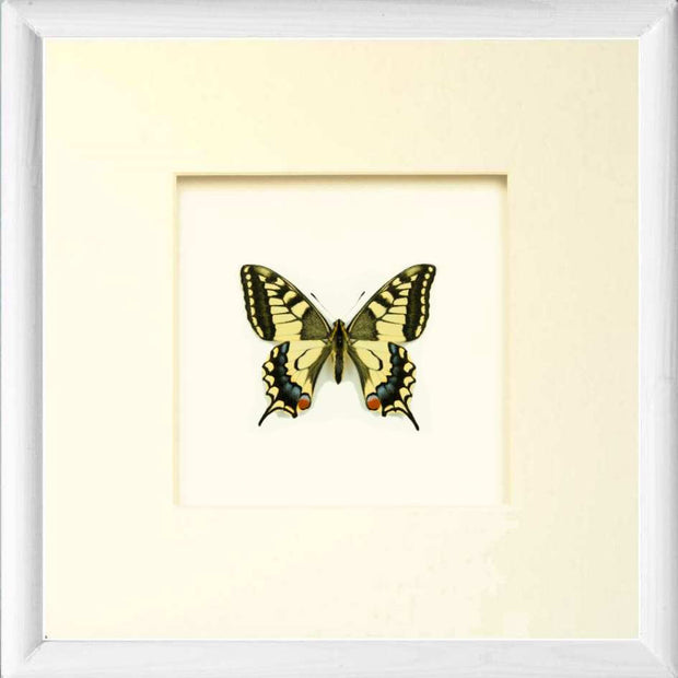 Papilio Machaon Gorganus Solid wood 25x25x5 White, Butterfly Frame - Insect Frame UK, Insect Frame UK  - 5