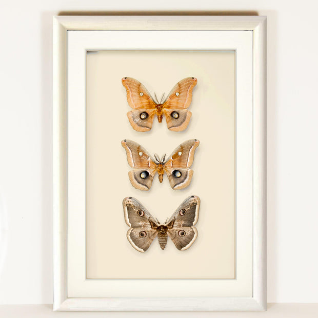 Polyphemus and Peacock Moths Trittico on solid wood 25x35x5 white, Moth Frame - Insect Frame UK, Insect Frame UK  - 2