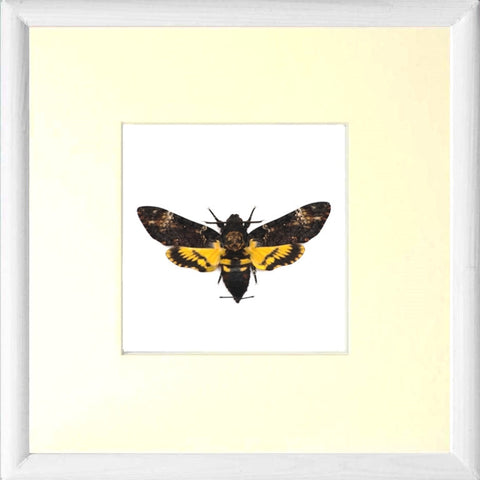 Framed Death's Head Hawk Moth White framed Acherontia atropos, Moth Frame - Insect Frame UK, Insect Frame UK  - 2