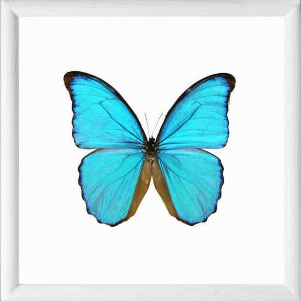 Framed Blue Morpho Didius Morpho Didius solid wood white, Butterfly Frame - Insect Frame UK, Insect Frame UK  - 3