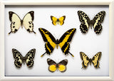 Yellow Insects Collection Thoughts in white, Butterfly Frame - Insect Frame UK, Insect Frame UK  - 3