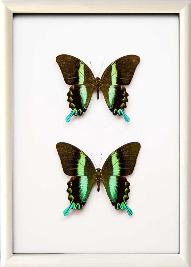 Peacock Blumei Solid wood 25x35 Duo white, Butterfly Frame - Insect Frame UK, Insect Frame UK  - 7