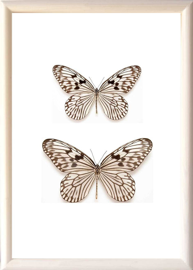 Tree Nymph Butterfly Solid wood 25x35 white, Butterfly Frame - Insect Frame UK, Insect Frame UK  - 5