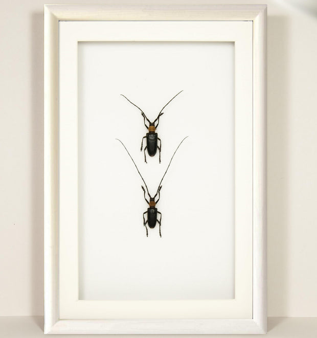 Nemophas Batoceroides white, Beetle Frame - Insect Frame UK, Insect Frame UK  - 3