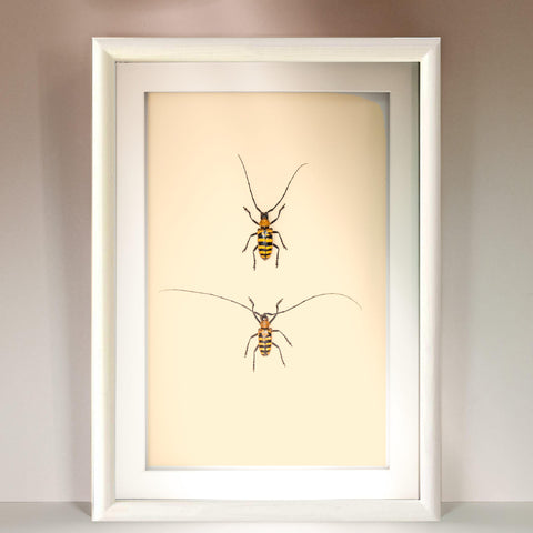 Nemophas Forbesi white frame, Beetle Frame - Insect Frame UK, Insect Frame UK  - 1