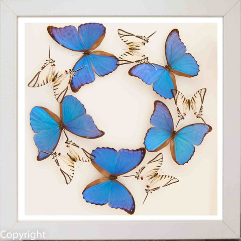 Butterflies Panels White, Butterfly Frame - Insect Frame UK, Insect Frame UK  - 2