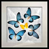 Zalmoxis Collection Zalmoxis on black, Butterfly Frame - Insect Frame UK, Insect Frame UK  - 1