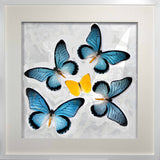 Zalmoxis Collection Zalmoxis on white, Butterfly Frame - Insect Frame UK, Insect Frame UK  - 2