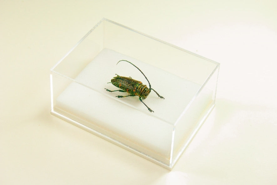 Zographus Regalis Centralis , Insect Frame - Insect Frame UK, Insect Frame UK