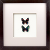Peruvian Duo Peruvian duo Black, Butterfly Frame - Insect Frame UK, Insect Frame UK  - 1