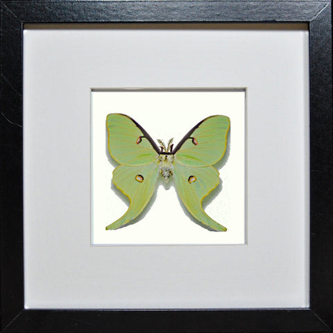 Actias Luna Black Frame - White Background, Moth Frame - Insect Frame UK, Insect Frame UK  - 1