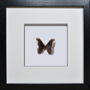 Silky Hawk Moth Black Frame - White Background, Moth Frame - Insect Frame UK, Insect Frame UK  - 3