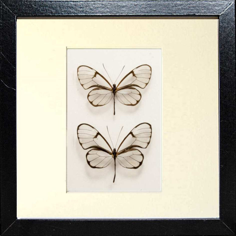 Framed Simple Clearwing - Insect Frame UK