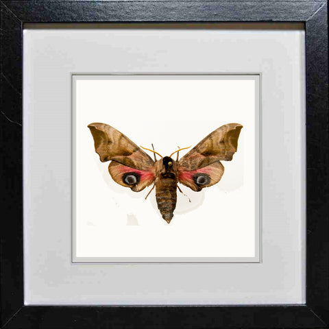 Eyed Hawk Moth Black frame, Moth Frame - Insect Frame UK, Insect Frame UK  - 1