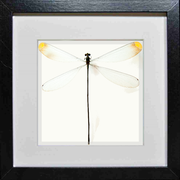 Giant Damselfly Black Frame - White Background, Insect Frame - Insect Frame UK, Insect Frame UK  - 2