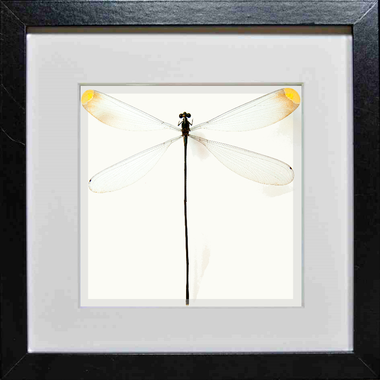 Giant Damselfly - Insect Frame UK