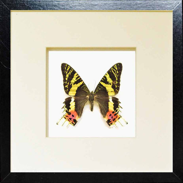Chrysiridia Rhipheus Fiberboard black, Butterfly Frame - Insect Frame UK, Insect Frame UK  - 2