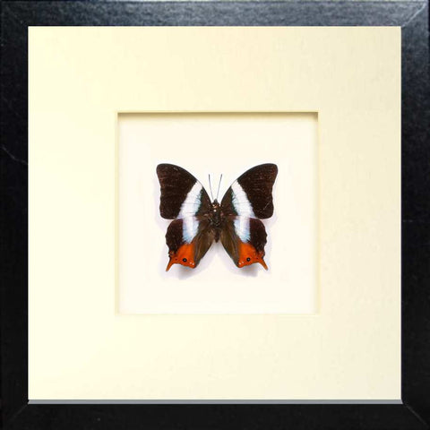 White Banded Palla Fiberboard black, Butterfly Frame - Insect Frame UK, Insect Frame UK  - 1