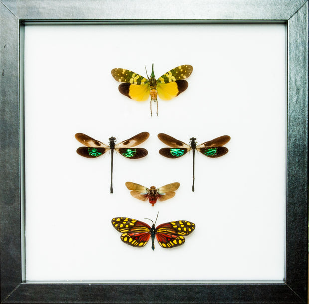 Thai Insects Collection - Insect Frame UK