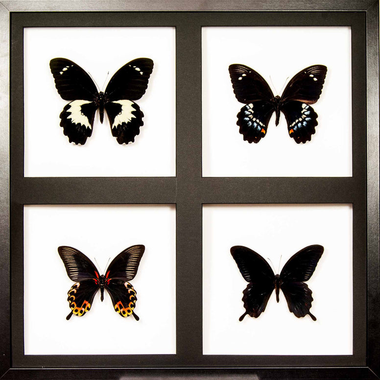 Papilio art panel Black panel collection, Butterfly Frame - Insect Frame UK, Insect Frame UK  - 1