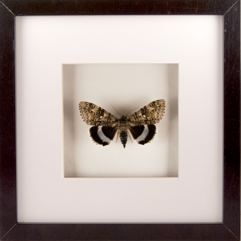 Blue Underwing Moth Black Frame, Moth Frame - Insect Frame UK, Insect Frame UK  - 1