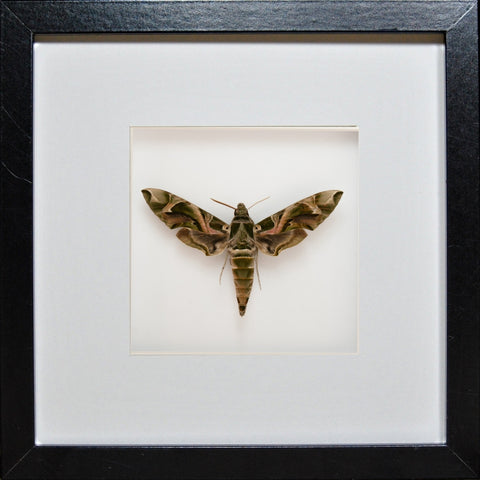 Army Green Moth Daphnis nerii Black Frame, Moth Frame - Insect Frame UK, Insect Frame UK  - 1