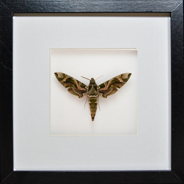 Army Green Moth - Insect Frame UK