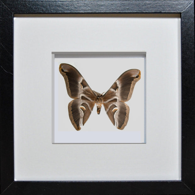 Ailanthus Silkmoth Black Frame - White Background, Moth Frame - Insect Frame UK, Insect Frame UK  - 3