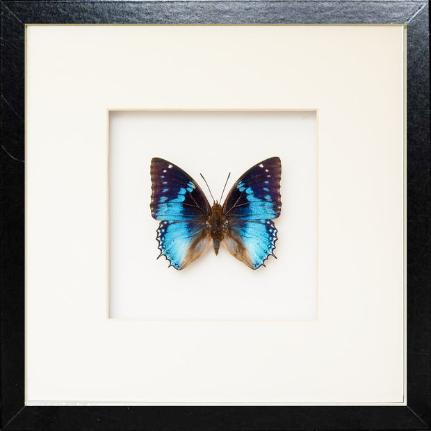 Western Blue Charaxes - Insect Frame UK