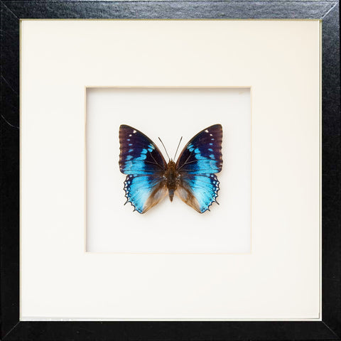 Western Blue Charaxes Fiberboard 25x25 black, Butterfly Frame - Insect Frame UK, Insect Frame UK  - 1