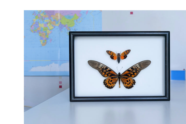An Unusual Framed Butterfly Collection - Insect Frame UK