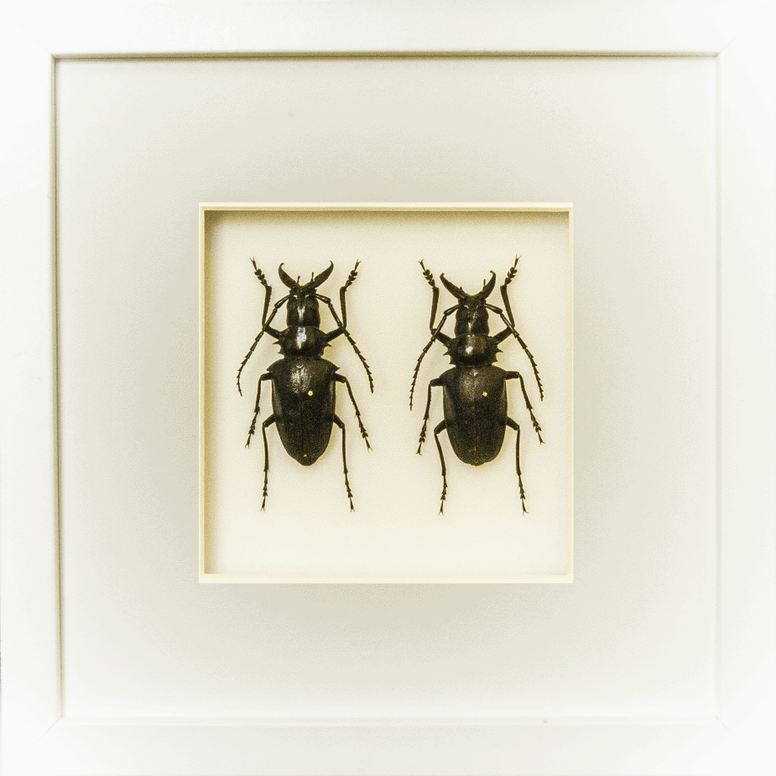 Dorysthenes Walkeri - Insect Frame UK
