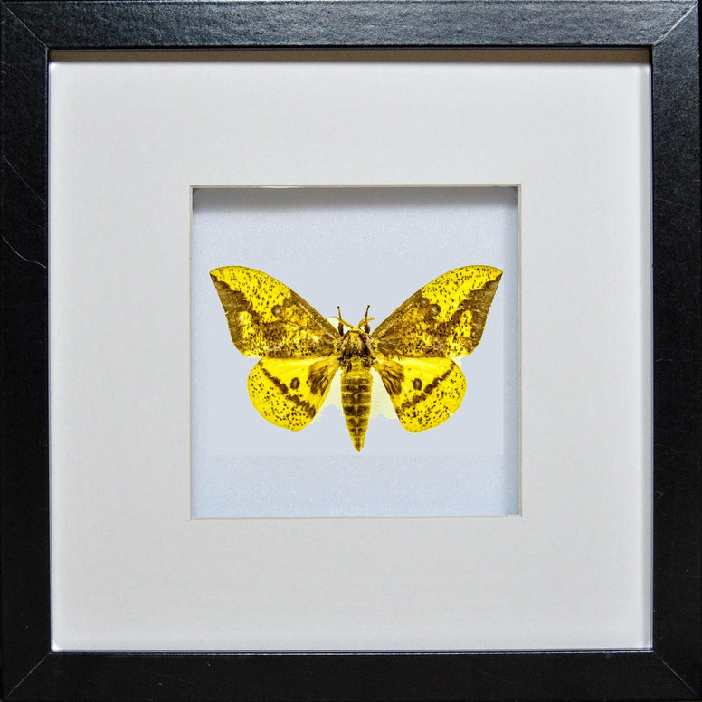 Imperial Moth Imperial on black, Moth Frame - Insect Frame UK, Insect Frame UK  - 2