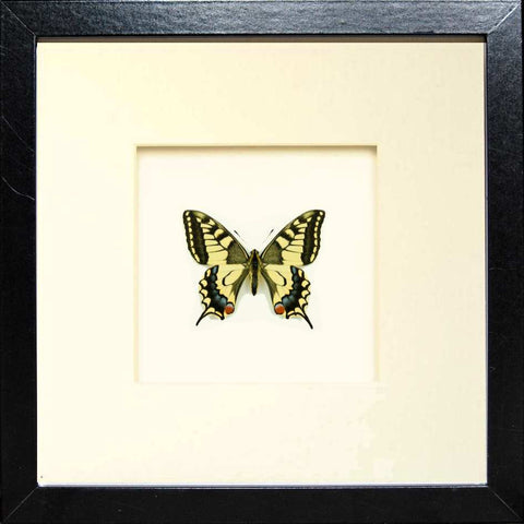 Papilio Machaon Gorganus Fiberboard 25x25x4,5 Black, Butterfly Frame - Insect Frame UK, Insect Frame UK  - 2
