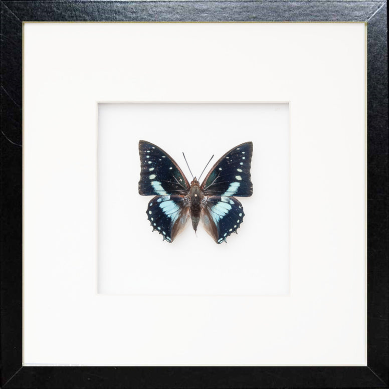 Imperial Charaxes Fiberboard 25x25 black, Butterfly Frame - Insect Frame UK, Insect Frame UK  - 1