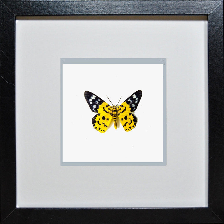 Yellow Moth Dysphania Militaris Black Frame - White Background, Moth Frame - Insect Frame UK, Insect Frame UK  - 1