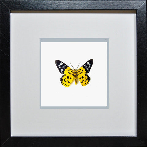 Yellow Moth Dysphania militaris Black Frame - White Background,  - Insect Frame UK, Insect Frame UK