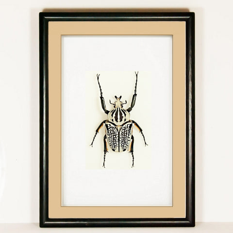 Goliathus Orientalis - Insect Frame UK