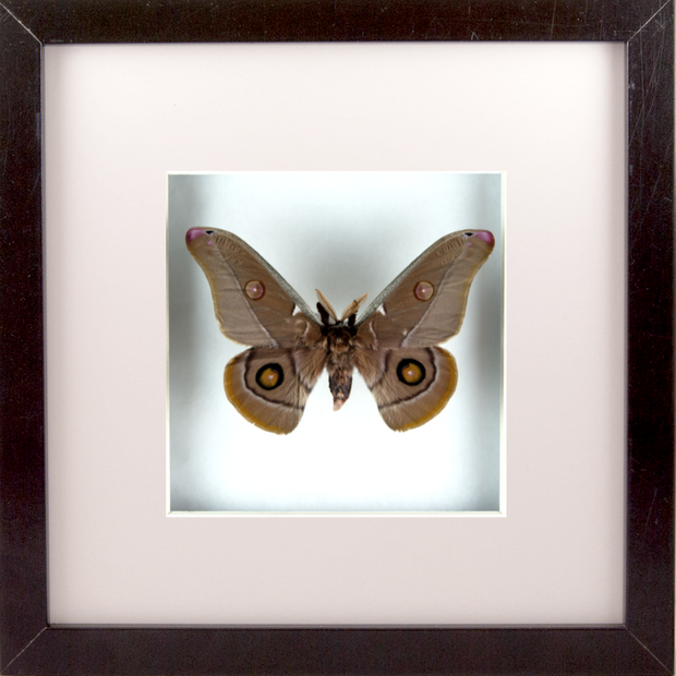 Emperor Gum Silkmoth Black Frame - White Background, Moth Frame - Insect Frame UK, Insect Frame UK  - 1