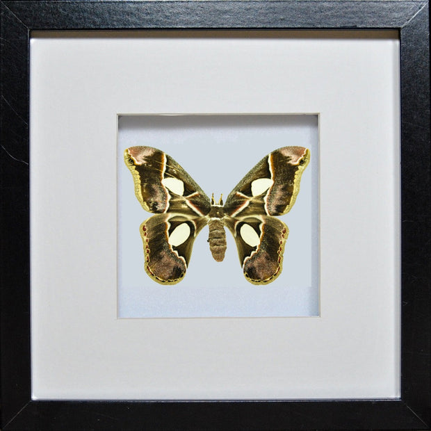 Rothschildia Moth Rothschildia on black, Moth Frame - Insect Frame UK, Insect Frame UK  - 1