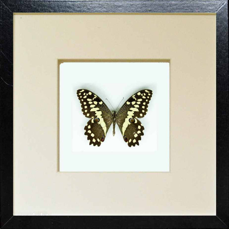 Framed Citrus Swallowtail Black frame - white background, Butterfly Frame - Insect Frame UK, Insect Frame UK  - 2