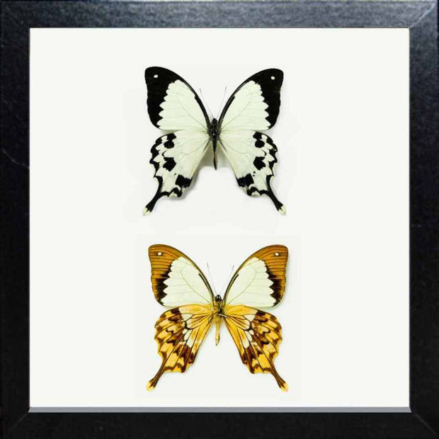 Flying Handkerchief Fiberboard black, Butterfly Frame - Insect Frame UK, Insect Frame UK  - 2