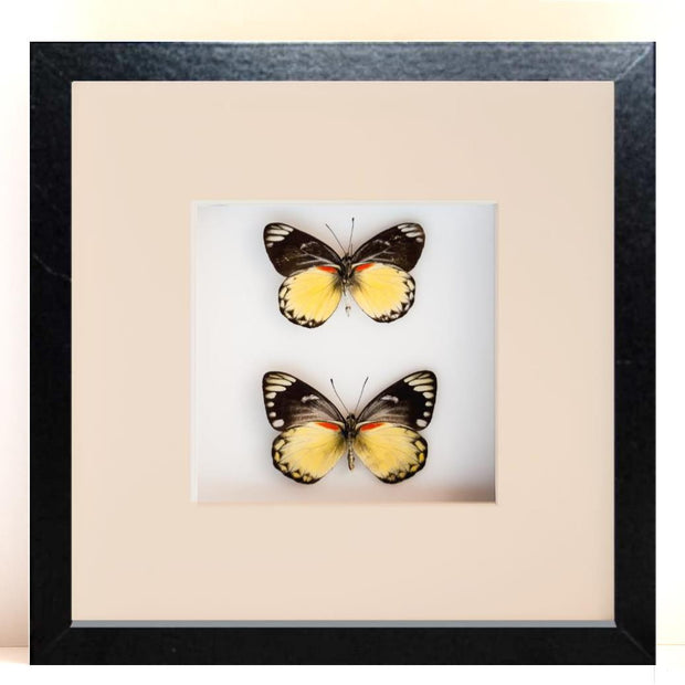 Delias Belisama Black Frame - White Background, Butterfly Frame - Insect Frame UK, Insect Frame UK  - 2