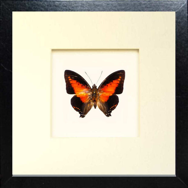 Red Charaxes Zingha Fiberboard black, Butterfly Frame - Insect Frame UK, Insect Frame UK  - 1