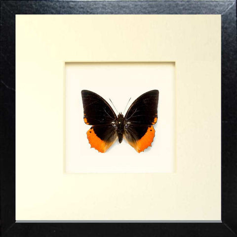 Flame-bordered Emperor Fiberboard - Black, Butterfly Frame - Insect Frame UK, Insect Frame UK  - 1