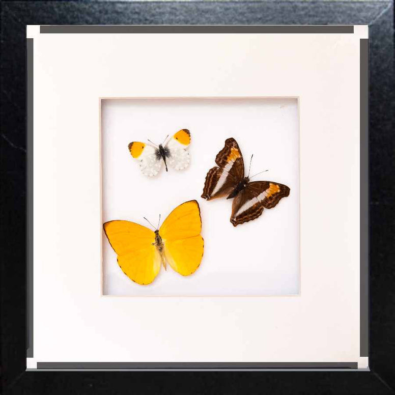 Brazil Butterfly Collection Brazil in black, Butterfly Frame - Insect Frame UK, Insect Frame UK  - 1