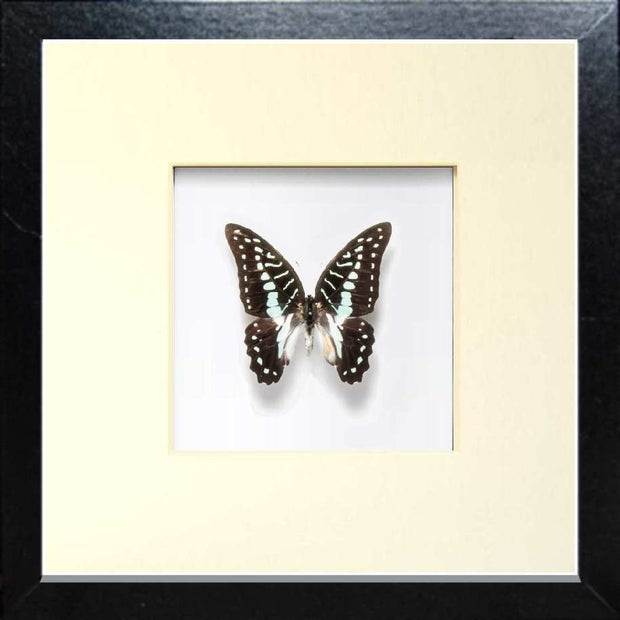 The Great Jay Fiberboard black, Butterfly Frame - Insect Frame UK, Insect Frame UK  - 2