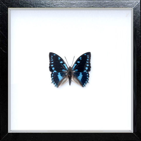 Charaxes ameliae Charaxes ameliae black without mount, Butterfly Frame - Insect Frame UK, Insect Frame UK  - 1