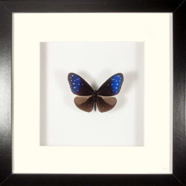 Striped Blue Crow Fiberboard black (M), Butterfly Frame - Insect Frame UK, Insect Frame UK  - 1